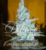 Delicious Critical Jack Herer Fem 5 Cannabis Seeds